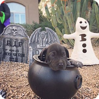Shar Pei Mix Puppy for adoption in Phoenix, Arizona - Buffy