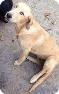 Golden Retriever/Australian Shepherd Mix Puppy for adoption in Deer Park, New York - Juliett