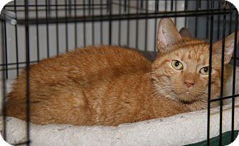 Domestic Shorthair Cat for adoption in Marietta, Ohio - Bobby (Neutered)