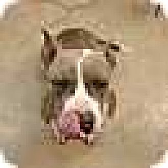 Pit Bull Terrier Dog for adoption in Foristell, Missouri - Lili