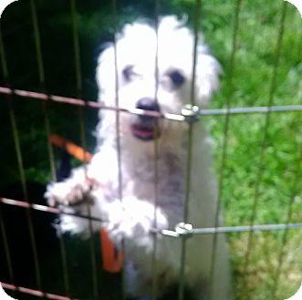 Poodle (Miniature) Dog for adoption in Lima, Pennsylvania - Little Lulu