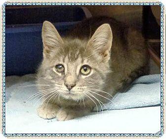 Domestic Shorthair Kitten for adoption in Marietta, Georgia - RASCAL