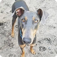 Doberman Pinscher Dog for adoption in Buffalo, Minnesota - Pablo
