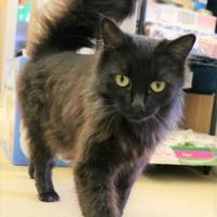 Domestic Mediumhair/Domestic Shorthair Mix Cat for adoption in Ann Arbor, Michigan - Moonlight