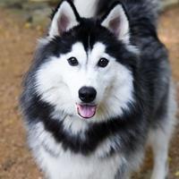 Adopt A Pet :: Kai - Carrollton, TX