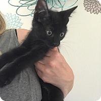 Adopt A Pet :: Bobby Brady - Sterling Hgts, MI