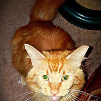 Adopt A Pet :: Ginger - CLEVELAND, OH
