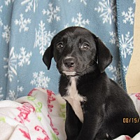 Adopt A Pet :: Labrador Puppies - Denver, CO