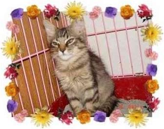 Maine Coon Kitten for adoption in KANSAS, Missouri - THUMPER