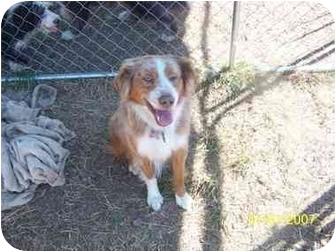 Australian Shepherd Mix Dog for adoption in Longview, Washington - BO