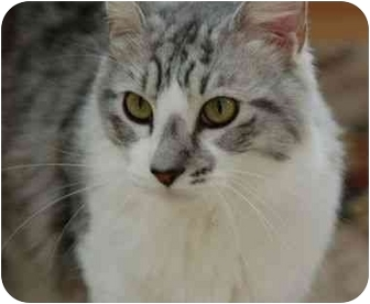 Maine Coon Cat for adoption in Davis, California - Marley
