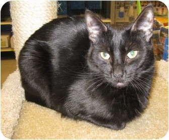 Domestic Shorthair Cat for adoption in Mesa, Arizona - Teddie