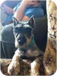 Schnauzer (Miniature) Dog for adoption in Springfield, Missouri - Doolittle