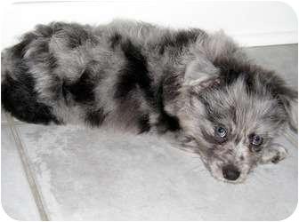 Yorkie, Yorkshire Terrier/Australian Shepherd Mix Puppy for adoption in Overland Park, Kansas - Ramsey