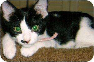 Domestic Shorthair Cat for adoption in Houston, Texas - Hope