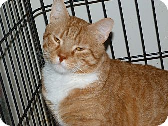 Domestic Shorthair Cat for adoption in Stafford, Virginia - Rocky