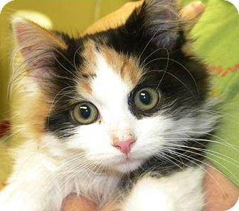 Domestic Longhair Kitten for adoption in Marion, Wisconsin - Ember