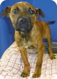 Bulldog/Boxer Mix Dog for adoption in Lincolnton, North Carolina - Nova