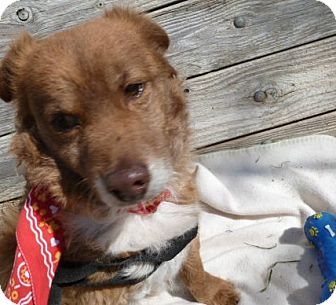 Spaniel (Unknown Type)/Sheltie, Shetland Sheepdog Mix Dog for adoption in San Ramon, California - Kywee