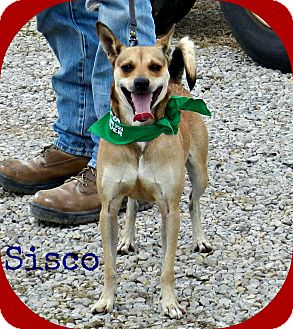 Whippet Mix Dog for adoption in Lawrenceburg, Tennessee - Sisco
