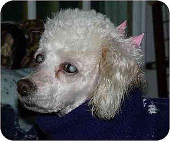 Poodle (Miniature) Dog for adoption in Old Fort, North Carolina - Diamond
