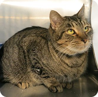 Domestic Shorthair Cat for adoption in Geneseo, Illinois - Clyde