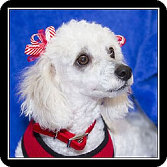 Poodle (Miniature)/Maltese Mix Dog for adoption in San Diego, California - Claire