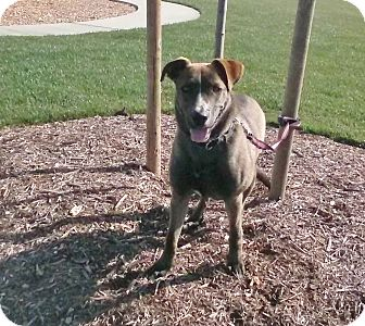 Alaskan Malamute/Pit Bull Terrier Mix Dog for adoption in Los Angeles, California - Walker