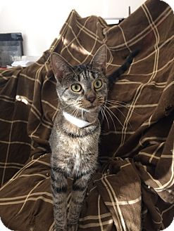 Domestic Shorthair Cat for adoption in University Park, Illinois - Cass