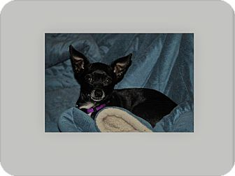 Chihuahua Mix Dog for adoption in Houston, Texas - Inky