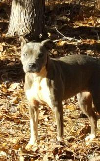 Pit Bull Terrier Mix Dog for adoption in Powder Springs, Georgia - Bama