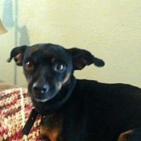 Miniature Pinscher Dog for adoption in Holland, Ohio - Parker Spruce