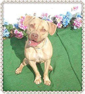 Labrador Retriever/Pit Bull Terrier Mix Dog for adoption in Marietta, Georgia - LAYLA