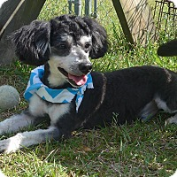 Adopt A Pet :: Charcoal - Manning, SC