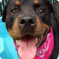 Rottweiler Dog for adoption in Hillsboro, New Hampshire - Hope