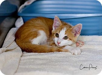 Domestic Shorthair Kitten for adoption in Cape Girardeau, Missouri - Hutson