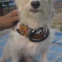 Bichon Frise/Dachshund Mix Dog for adoption in Von Ormy, Texas - Polar TLM
