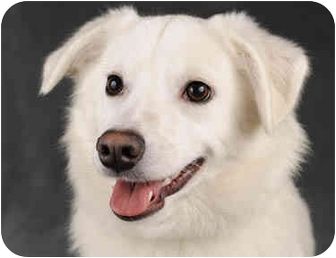 American Eskimo Dog/Spitz (Unknown Type, Medium) Mix Dog for adoption in Chicago, Illinois - Jillian