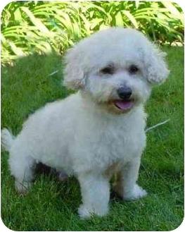 Bichon Frise Mix Dog for adoption in La Costa, California - Frazier