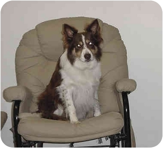 Border Collie/Australian Shepherd Mix Dog for adoption in Austin, Minnesota - Phallon