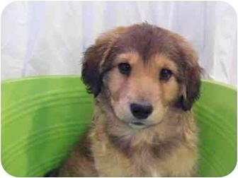 Golden Retriever/German Shepherd Dog Mix Puppy for adoption in Rochester, New Hampshire - Teddy