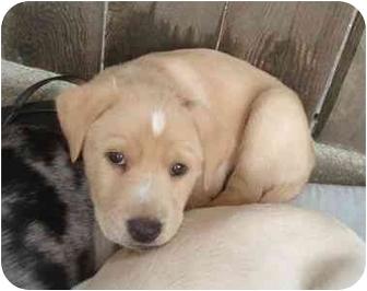 Retriever (Unknown Type) Mix Puppy for adoption in Houston, Texas - Twix