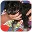 Photo 3 - Poodle (Miniature)/Shih Tzu Mix Puppy for adoption in Cincinnati, Ohio - Bert: 7 pounds
