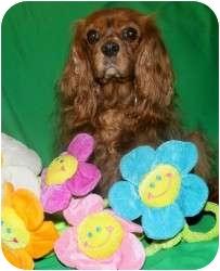 Cavalier King Charles Spaniel Dog for adoption in Wayne, New Jersey - Demi