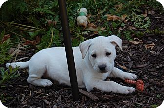 Labrador Retriever Mix Puppy for adoption in Alpharetta, Georgia - Finn