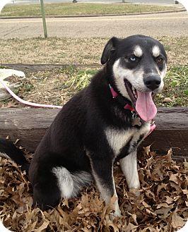 Husky/Shepherd (Unknown Type) Mix Dog for adoption in Richmond, Virginia - Wilson