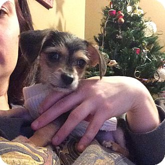 Dachshund/Chihuahua Mix Puppy for adoption in Shawnee Mission, Kansas - Chewy