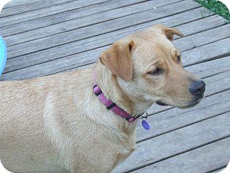 Golden Retriever Mix Dog for adoption in ST LOUIS, Missouri - Francis-Pending Adoption