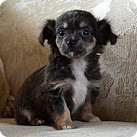 Adopt A Pet :: Diva - Westfield, IN