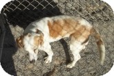 Beagle Mix Dog for adoption in Silver City, New Mexico - Susie
